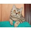 Подрощенные котята хайленд