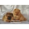 Померанский (немецкий)  миниатюрный шпиц очаровательные щенки