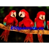 Попугаи Ара - птенцы выкормыши