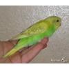 Попугаи волнистые обычные и Чехи