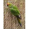Попугай Аратинга - птенцы выкормыши собственного разведения