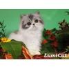 Породистые котята из питомника Lumicat.