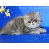 Породистые персидские и экзотические котята.