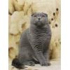 Предлогается кот на вязку    шотландский вислоухий