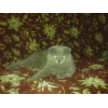 предлогаю кота на вязку