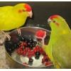 Пристроить-попугайчика в хорошие руки