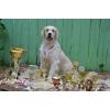 Продаем щенков голден-ретривер, с отличной родословной чимпионов РКФ клуба