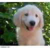 Продаем щенков голден-ретривер, с отличной родословной от здоровых родителей, чимпионов РКФ клуба
