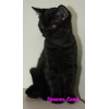 Продается британский котенок черного окраса Каролина.