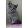 Продается британский котенок голубого окраса Леди.