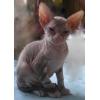 Продается кошечка Донского сфинкса редкого окраса.