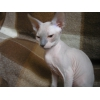 Продается котик Донского сфинкса редкого окраса.