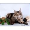 Продается котик породы Мейн - Кун