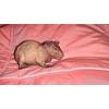 Продается морская свинка Болдуин (Самец)