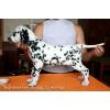 Продается щенок далматина с документами.