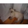 Продается замечательный британский котенок редкого окраса!