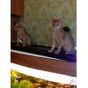 Продам абиссинских котят
