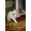 Продам котят турецкой ангоры