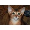 Продам обалденных породистых абиссинских котят