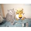 Продам очаровательного британского котенка,  Ясенево.