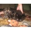 Продам породистых персидских котят