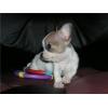 Продам щенка Чихуахуа мальчик минюшка