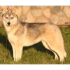 продам щенка сибирской хаски