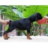 Продам щенков добермана