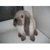 Продам супер карликов. вислоухих крольчат с род.