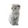 Продаётся Шотландский-вислоухий котёнок (КАРЛИК! ! ! )