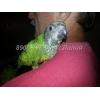 Продаю абсолютно ручных птенцов-выкормышей сенегальских попугаев.