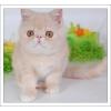 Продаю экзотических плюшевых  котят
