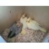 Продаю  попугаев корелл