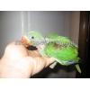 Продаю ручных птенцов-выкормышей александрийских попугаев