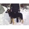 Продаю щенка Восточно европейской овчарки,  мальчик