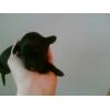 Продаю щенков черного окраса мелкой породы