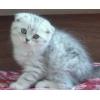 Продаю вислоухих шотландских котят