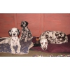 Продаются 3х месячные щенки далматина.