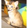 Продаются котята абиссинской породы