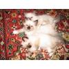 Продаются котята породы Священная бирма