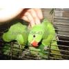 Продаются птенцы ожерелового попугая