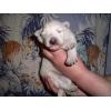 Продаются щенки Белой Швейцарской овчарки! ! !