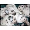 Продаются щенки далматина