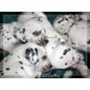 Продаются щенки далматина с документами