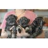Продаются щенки миттельшнауцера 2 мес,  мальчики и девочки