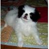 продаются щенки японского хина бело-черного окраса