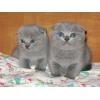 Продаются шотландские-вислоухие котята