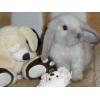 Продаются вислоухие крольчата разных окрасов