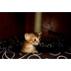 Продажа Абиссинских котят