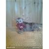 Продажа британских и шотландских вислоухих котят.